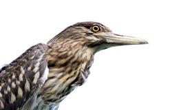 Egret incoronato il nero Fotografia Stock Libera da Diritti