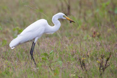 Egret with an insect in bill. Egret seen feeding on an insect Royalty Free Stock Image