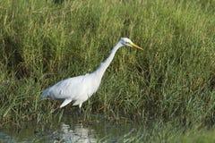 Egret intermediário em Pottuvil, Sri Lanka fotos de stock