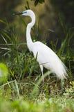 Egret intermedio Immagini Stock Libere da Diritti
