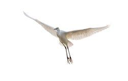 Egret isolado Imagens de Stock
