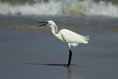 Egret with its beak open. Stock Images