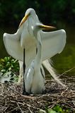 Egret with its young in nest stock images