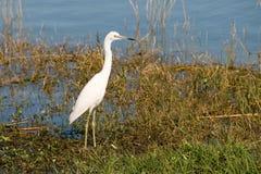 egret jezioro Zdjęcia Royalty Free