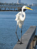 Egret keeping close eye on viewer Stock Images