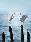 Egret are kissing` stock photography