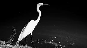 Egret by lake Stock Image