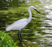 Egret in lake Stock Photography