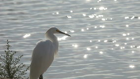 Egret by the lake stock footage