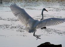 Egret Landing Royalty Free Stock Photography