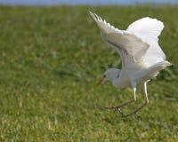 Egret landing Stock Image