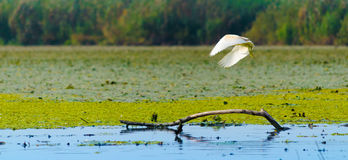 Egret landing on a branch. In the middle of a lake Stock Photos