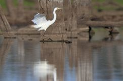 Egret landing on outback waterhole royalty free stock images