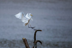 Egret landing. On a tree in river Royalty Free Stock Photos