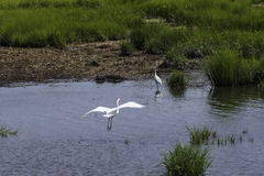 An Egret Lands. In the waters of the NJ Salt Marshes Royalty Free Stock Images