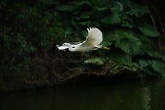 Egret latanie na rzece w ciemnozielonym tle, obrazy royalty free