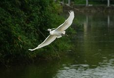 Egret latanie na rzece w ciemnozielonym tle, fotografia royalty free