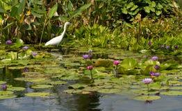 egret leluj śnieżna woda Zdjęcie Stock