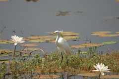 Egret Between Lillies. A snowy egret between while lillies in a lilly pond just off the highway in India Stock Images