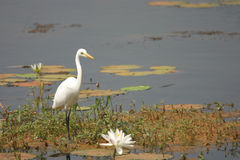Egret and Lilly Royalty Free Stock Images