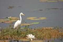 egret lilly Стоковые Изображения RF