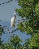 Egret Litlle садить на насест на дереве Стоковое Фото