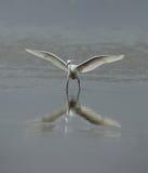 egret little Royaltyfria Bilder
