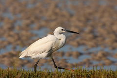 egret little Royaltyfria Foton