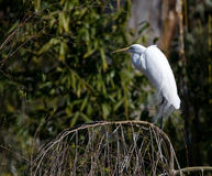 egret little Royaltyfri Foto