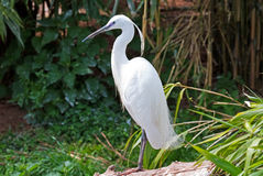 egret little Royaltyfria Bilder