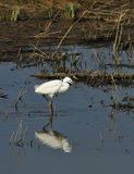egret little Royaltyfri Bild