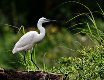 egret little Arkivbilder