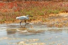 egret little Arkivfoton