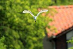 egret little Fotografering för Bildbyråer