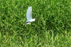 egret little Arkivfoto
