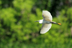egret little Royaltyfri Fotografi