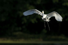 egret little Royaltyfri Foto