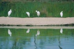 egret little Royaltyfri Bild