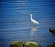 egret little flod royaltyfri fotografi
