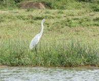 egret little landskapwaterside Arkivfoto