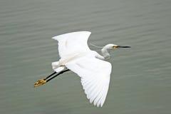 egret little som är vit Royaltyfri Foto