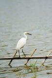 egret little som är vit Royaltyfria Foton