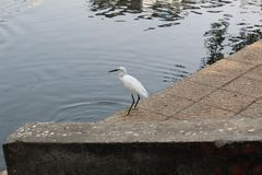Egret at a local park stock image