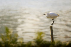 Egret look for fish Stock Photos