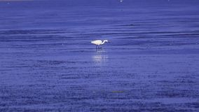 Egret looking for food stock footage