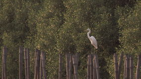 Egret looking out for danger stock footage