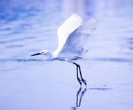 egret lotu Fotografia Royalty Free