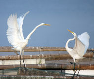 Egret love Stock Photos
