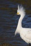Egret - mán día del pelo Fotografía de archivo