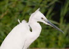egret mały kierowniczy Obrazy Stock